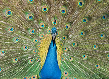 Close up of peacock stock images
