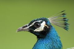 Close up of a peacock head. With blurred background stock photos