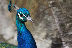 Close up of a peacock head Stock Photo