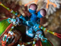 Close-up of peacock mantis shrimp. Peacock mantis shrimp, Odontodactylus scyllarus, details of head. Alor Archipelago, Lesser Sunda Islands, Indonesia royalty free stock image