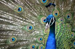 Close up peacock Paignton zoo. royalty free stock images