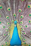 Close up of peacock, Romania Royalty Free Stock Photos