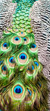 Close up of a peacock`s colored tail Stock Images