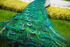 Close up of peacock`s colorful tail, with the town fountain, park in the background royalty free stock photo