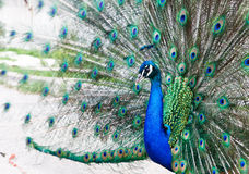 Close up of peacock Stock Photography