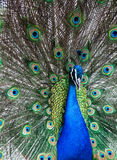 Close up of peacock Royalty Free Stock Photo