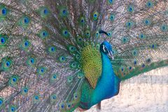 A peacock expanded colorful feathers. Close up of peacock shows colorful tail spread royalty free stock photography