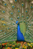 Close up of peacock spreading tail feathers standing on pansy fl Stock Image