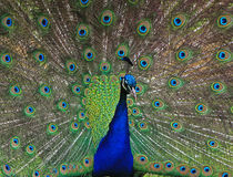 Close up of a Peacock Stock Photos