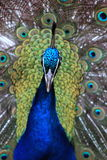 Close up of a Peacock. Close up of a peacock taken in New Zealand stock photography