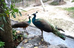 Close up of peacocks with closed tails sitting on the stones by the tree royalty free stock image