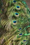 Close up of a peacocks tail feathers royalty free stock images