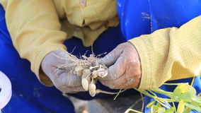 Close up of peanut in farmer hand. stock footage
