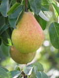 Close-up of pear Stock Photo
