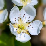 Close up on pear flower. Detail of white pear flower in mid April soon fruits stock images