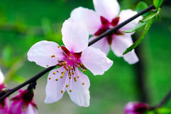 Close up pear flowers Royalty Free Stock Photos