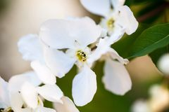 Close up of the pear tree flowers Royalty Free Stock Photo