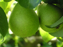 Close-up of pears Stock Photography