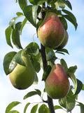 Close-up of pears royalty free stock photo