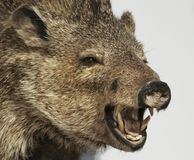 A Close Up Peccary, Also Called Javelina. A Peccary, also Known as Javelina, the Wild Pig of the American Desert Stock Photos