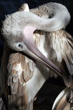Close-up of pelican Royalty Free Stock Photos