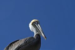 Close up of a Pelican Royalty Free Stock Images