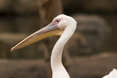 Close up of pelican royalty free stock photography
