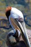 Close up of Pelican in Cabo San Lucas marina in Baja Mexico stock image