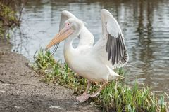 Pelican flapping wings Stock Photos