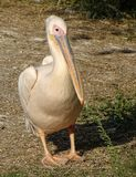 Close up with pelican - front view. Wild bird at zoo royalty free stock image