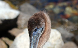 Close up of Pelican head in Cabo San Lucas marina in Baja Mexico Stock Images