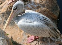 Close up of a Pelican sitting on the ground Royalty Free Stock Photography