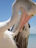 Close up into a pelicans world Stock Images