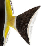 Close-up of a Pennant Coralfish's caudal fin. Heniochus acuminatus, isolated on white royalty free stock image