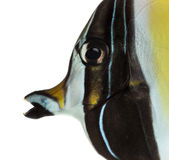 Close-up of a Pennant Coralfish's profile Royalty Free Stock Image