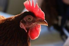 Close up penteado vermelho de incandescência do galo imagem de stock
