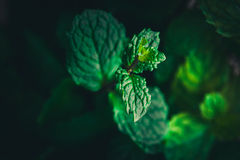 Close up peppermint in dark. Image Royalty Free Stock Images