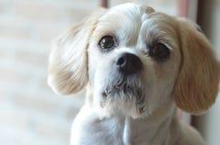 Close up pequeno do cão Foto de Stock Royalty Free