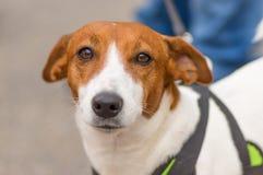 Close-up pequeno do cão Foto de Stock