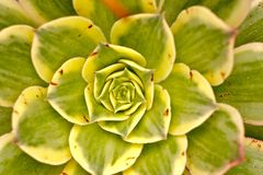 Close up pequeno do cacto Imagens de Stock