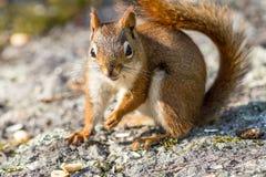 Close up pequeno do esquilo vermelho em rochas musgosos Fotografia de Stock