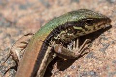 Close up pequeno do lagarto Fotografia de Stock Royalty Free