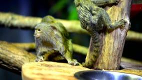 Close up pequeno do macaco filme