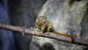 Close up pequeno do macaco video estoque