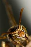 Close up pequeno do macro da cabeça da vespa Fotografia de Stock Royalty Free