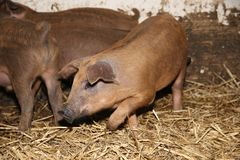 Close up pequeno dos porcos na cena rural da exploração agrícola animal imagem de stock royalty free