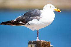 Close up of perched seagull bird sitting on one leg at the ocean. Close up of perched white and gray seagull sitting on one leg at the ocean with a blurred stock photos