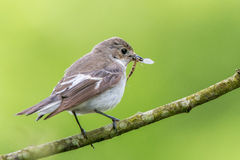 Female pied flycatcher Stock Images