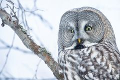 Close-up of a perching great grey owl royalty free stock images