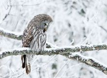 Close-up of a perching great grey owl in winter royalty free stock photography